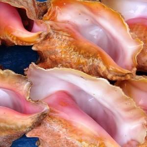 conch-shells