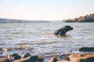 Pet Dog Swim Canine Playing Puppy Water Swimming
