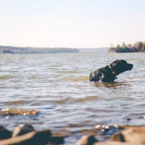 Pet Dog Swim Canine Playing Puppy Water Swimming